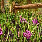 Pink hyacinths in spring by Yvon van der Wijk