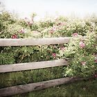 Fence Draped in Rosa Rugosa by Elizabeth Thomas
