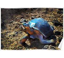 Medium Galapagos Giant Tortoise Poster