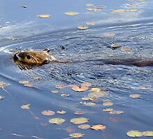 Algonquin Park Beaver by Tracy Faught