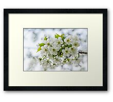 Sour Cherry Flowers Framed Print