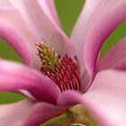 Magnolia macro by kostolany244