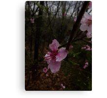 Wild Plum Blossom Canvas Print