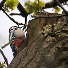 """ Great Spotted Woodpecker "" by Richard Couchman"