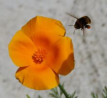 Californian Poppies and a Bumble Bee by looneyatoms
