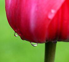 tulip by motiashkar