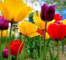 tulips by mark ashkenazi