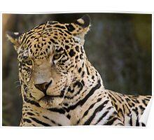 44 Panthera pardus Poster