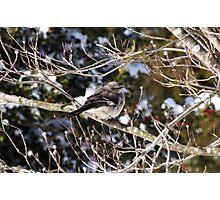 Mockingbird Dogwood Photographic Print