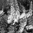 Black &  White Delphiniums by EdsMum