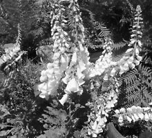 Black &  White Delphiniums by EdsMum