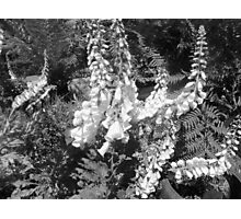 Black &  White Delphiniums Photographic Print