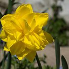 Sunny Yellow Spring - a Golden Double Daffodil by Georgia Mizuleva
