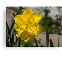 Sunny Yellow Spring - a Golden Double Daffodil Canvas Print