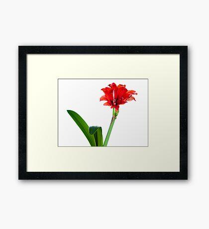Red amaryllis Framed Print