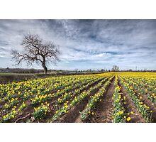 Spring Daffodils Photographic Print