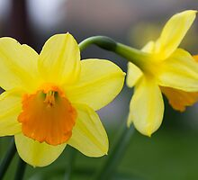 Daffodils by Graeme  Hunt