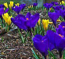 Crocus Of Spring by James Brotherton