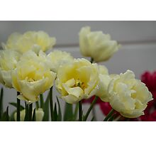 Cream and red tulips Photographic Print