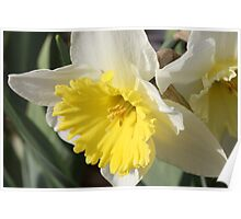 Spring Daffodil Poster