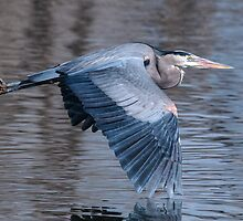 Great Blue flying by by Eivor Kuchta