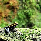 Allenwood, PA: Black & Gold Dart Frog by ACImaging