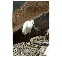 SNOWY EGRET WITH FISH Poster