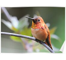 Rufous Finery Poster