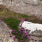 Heather on the Rocks by kalaryder