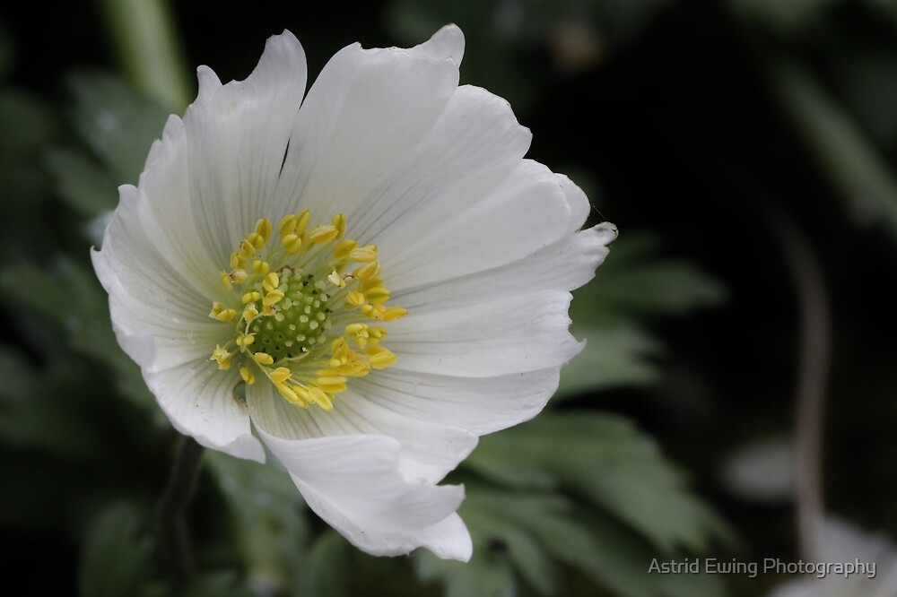 Grecian Windflower by Astrid Ewing Photography