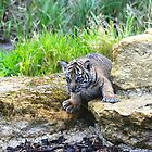 Sumatran Tiger Cub by Sheila Smith