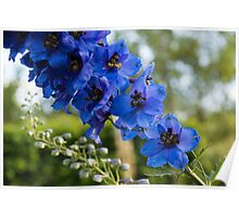 Sapphire Blues and Pale Greens - a Showy Delphinium Poster