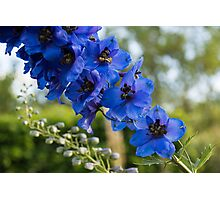 Sapphire Blues and Pale Greens - a Showy Delphinium Photographic Print