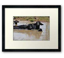 Water Buffalo Northern Australia Framed Print