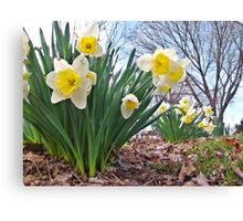 Daffodils Of Spring Canvas Print