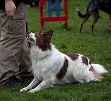 Dog Agility No. 4 by J-images