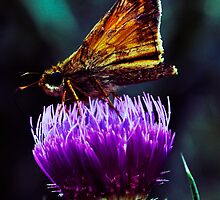 Butterfly on Thistle by Michael Kaczor