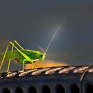 Grasshopper in the spotlight by pdsfotoart