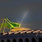 Grasshopper in the spotlight by pdsfotoart