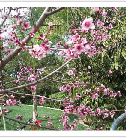 Peach Blossom Sticker