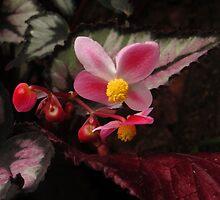Flowers Rex Begonia by ienemien