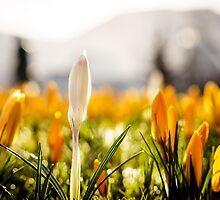 Spring is here! Bergen, Norway. by Paulius Bruzdeilynas