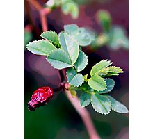 Dog Rose Photographic Print