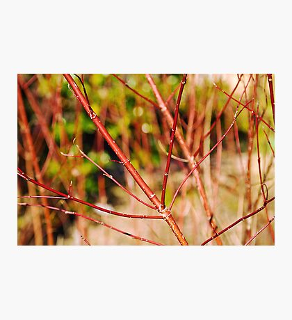 Red hawthorn Photographic Print