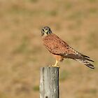 Regal Kestrel by Macky