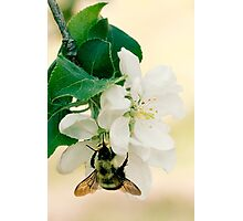 Apple and Bumble Photographic Print