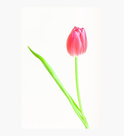tulip red green white Photographic Print