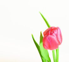 tulip red green white by drdoc2000