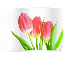 tulip red green white Poster