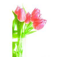 tulip red green white Photographic Print